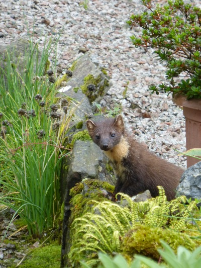 One-of-our-pine-martens