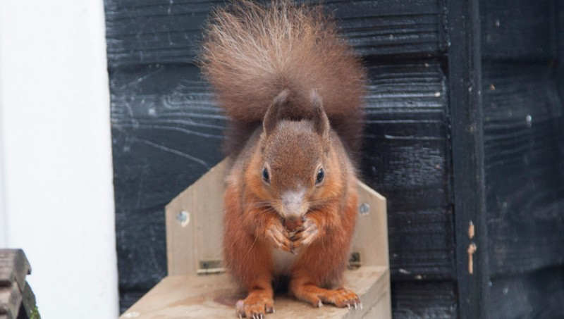 One-of-our-red-squirrels
